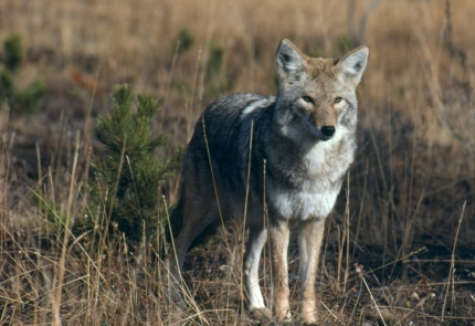 Coyote, courtesy NPS.