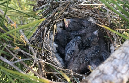 Red crossbill nestlings