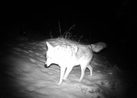 coyote cruising