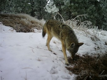 daytime coyote