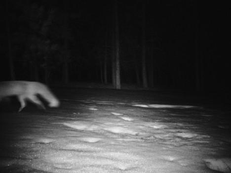 midnight fox
